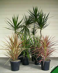Photo of Dracaena Margirata, Dracaena Colorama, Dracaena Black Knight Plants