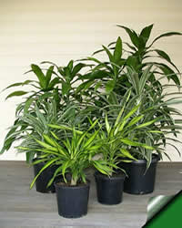 Photo of Dracaena Deremensis, Dracaena Janet Craig
