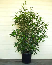 Photo of Ficus Emerald