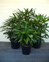 Photo of Rhapis Palm